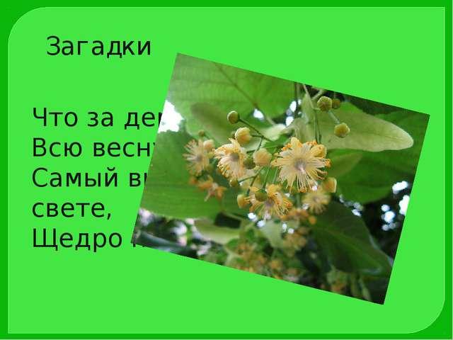 Загадки Что за дерево, ответьте Всю весну, когда цветёт, Самый вкусный мёд на...