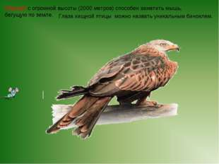 Глаза хищной птицы можно назвать уникальным биноклем. Коршун с огромной высо