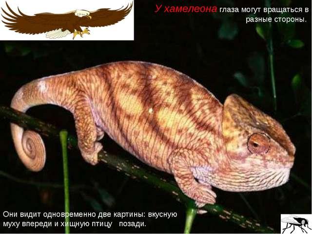 У хамелеона глаза могут вращаться в разные стороны. Они видит одновременно дв...