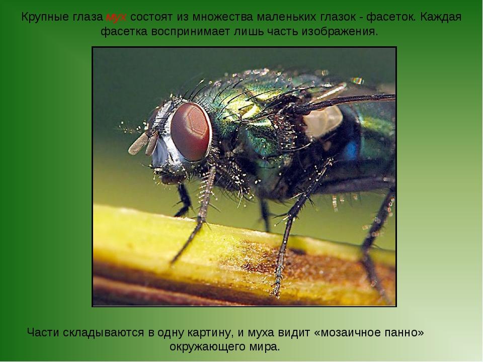 Крупные глаза мух состоят из множества маленьких глазок - фасеток. Каждая фас...