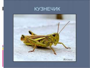КУЗНЕЧИК