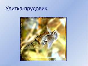 Улитка-прудовик