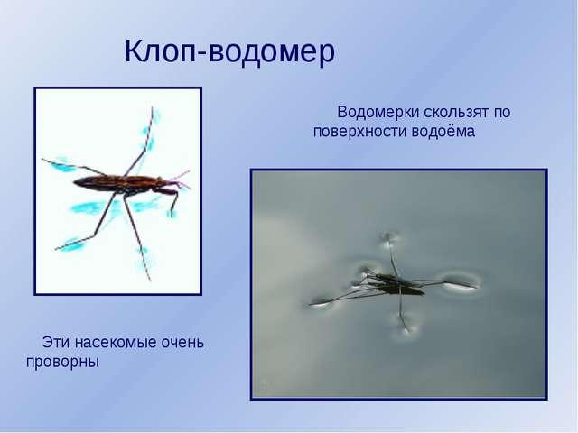 Клоп-водомер Водомерки скользят по поверхности водоёма Эти насекомые очень пр...