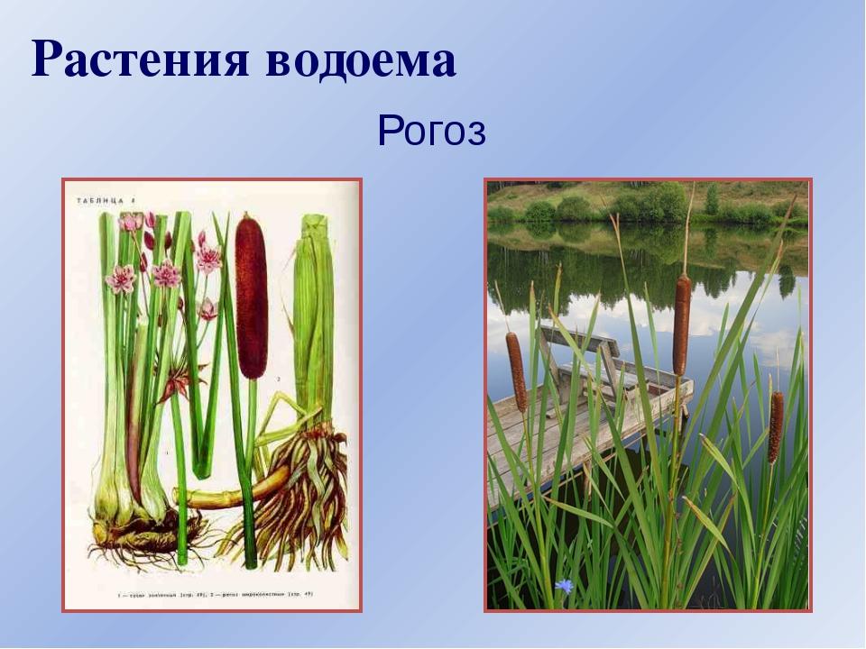 Растения водоема Рогоз