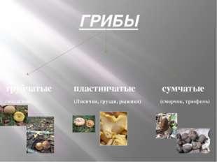 ГРИБЫ трубчатые пластинчатые сумчатые (маслёнок, (Лисички, грузди, рыжики) (с