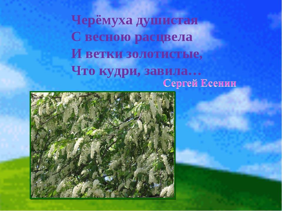 Черёмуха душистая С весною расцвела И ветки золотистые, Что кудри, завила…