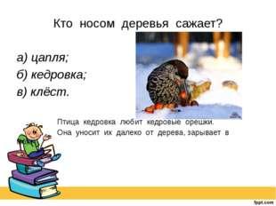 Кто носом деревья сажает? а) цапля; б) кедровка; в) клёст.  Птица кедров