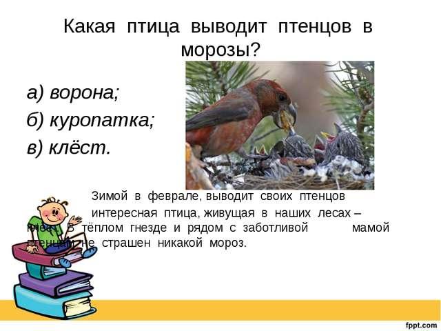 Какая птица выводит птенцов в морозы? а) ворона; б) куропатка; в) клёст. ...