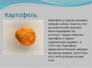 Картофель Картофель в народе называют вторым хлебом. Кажется, что русский чел