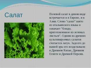 """Салат Полевой салат в диком виде встречается и в Европе, и в Азии. Слово """"сал"""