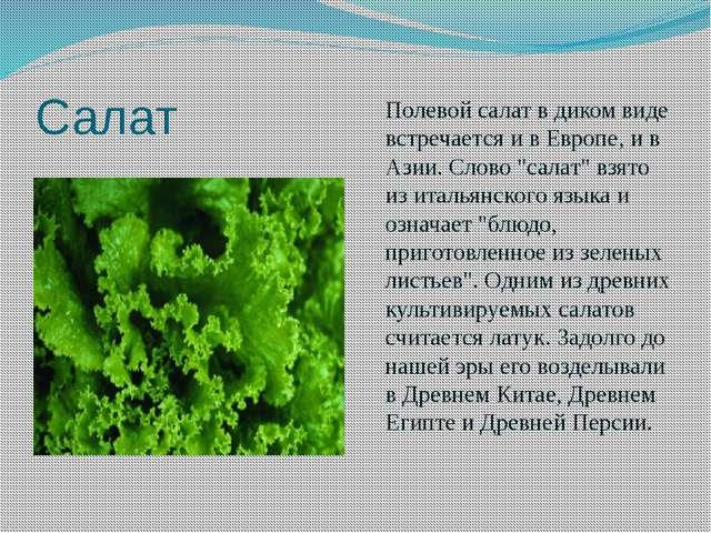"""Салат Полевой салат в диком виде встречается и в Европе, и в Азии. Слово """"сал..."""