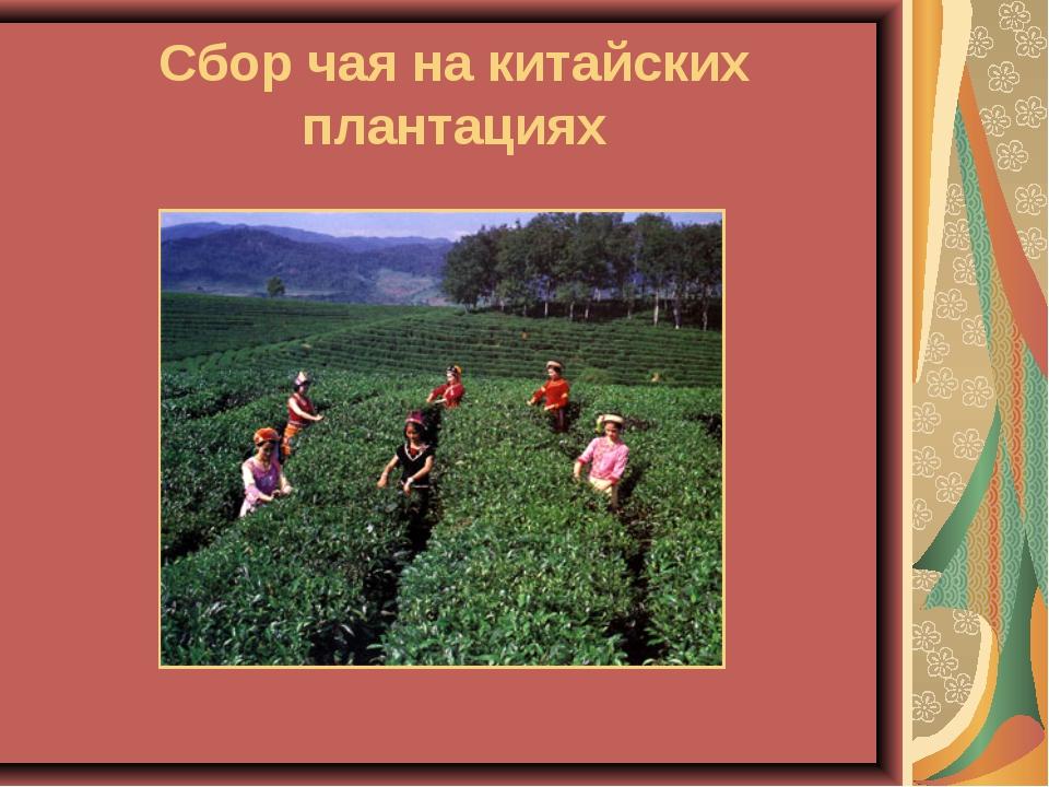 Сбор чая на китайских плантациях