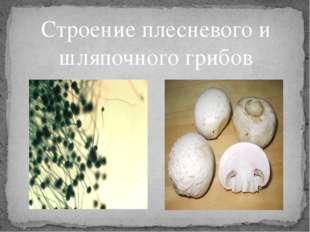 Строение плесневого и шляпочного грибов