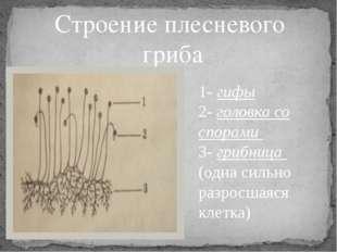 Строение плесневого гриба 1- гифы 2- головка со спорами 3- грибница (одна сил