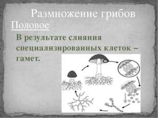 Половое В результате слияния специализированных клеток – гамет. Размножение г