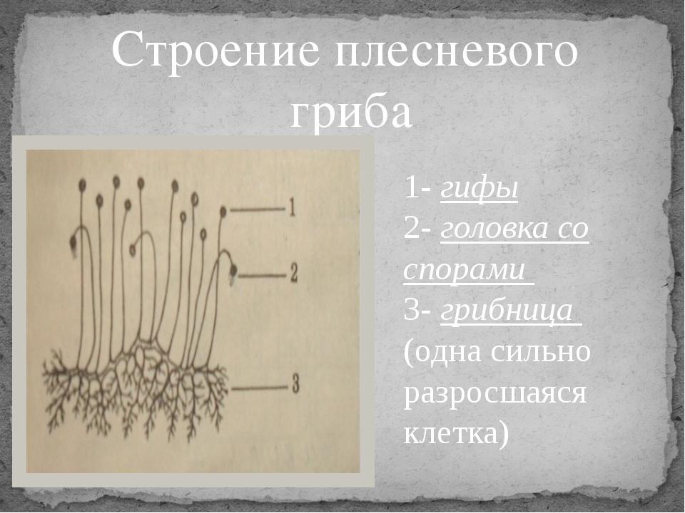 Строение плесневого гриба 1- гифы 2- головка со спорами 3- грибница (одна сил...