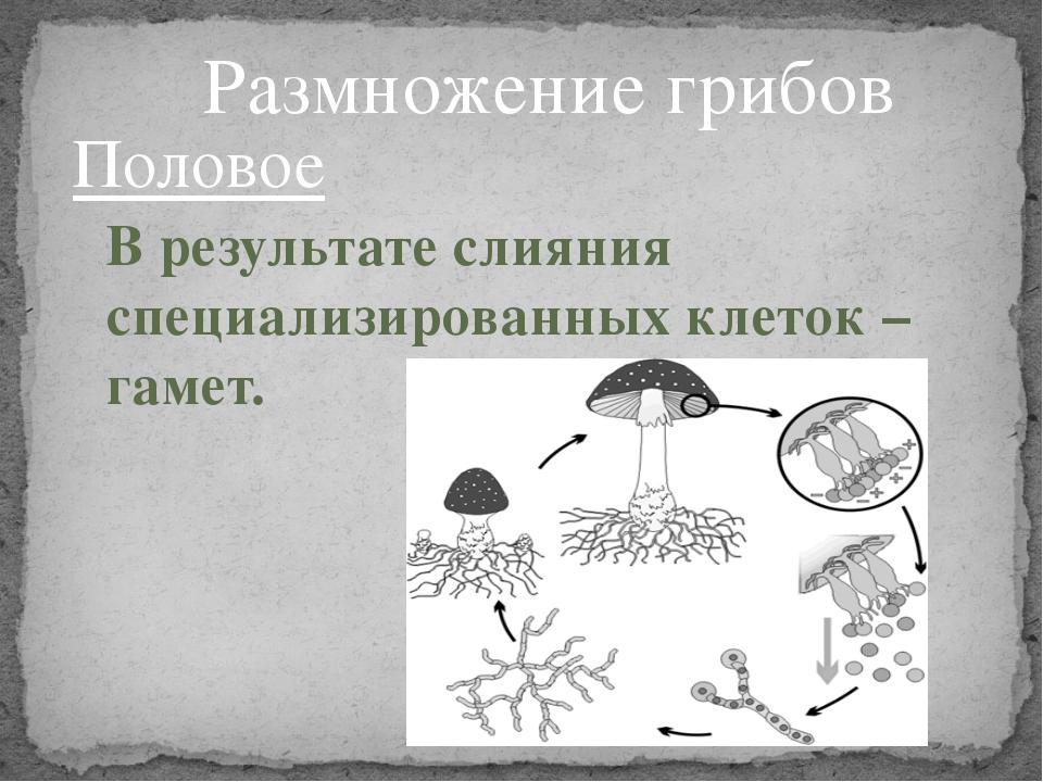 Половое В результате слияния специализированных клеток – гамет. Размножение г...