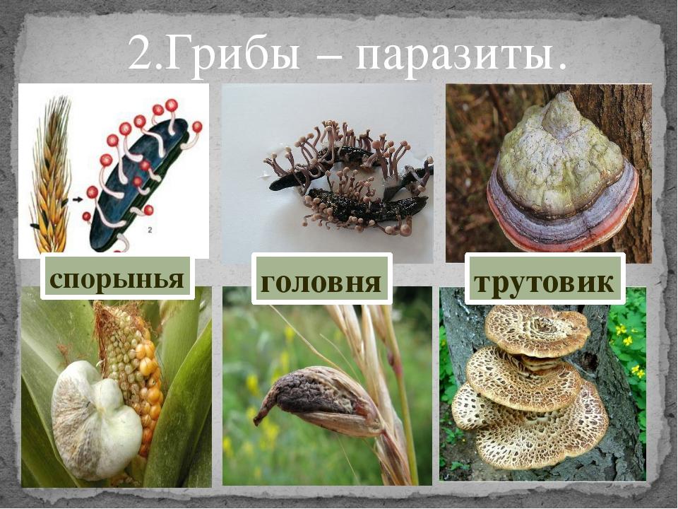 2.Грибы – паразиты. трутовик головня спорынья