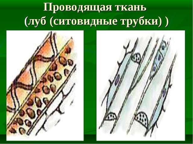 Проводящая ткань (луб (ситовидные трубки) )