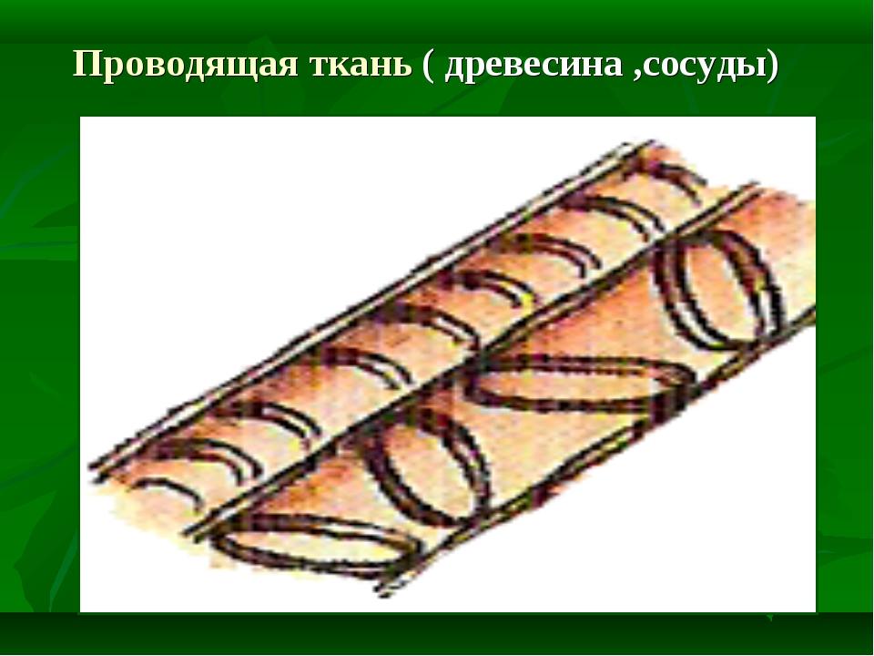Проводящая ткань ( древесина ,сосуды)