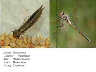 Домен: Эукариоты Царство: Животные Тип: Членистоногие Класс: Насекомые От