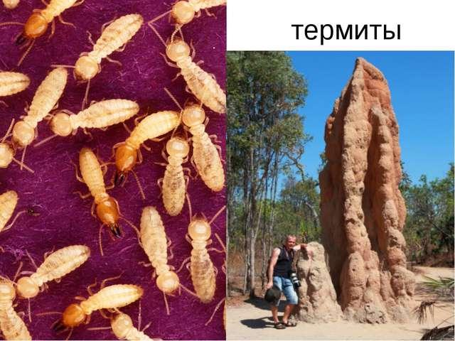 термиты