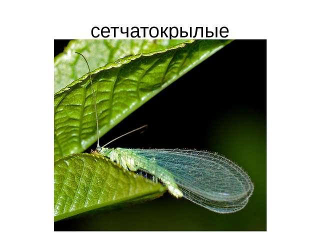 сетчатокрылые