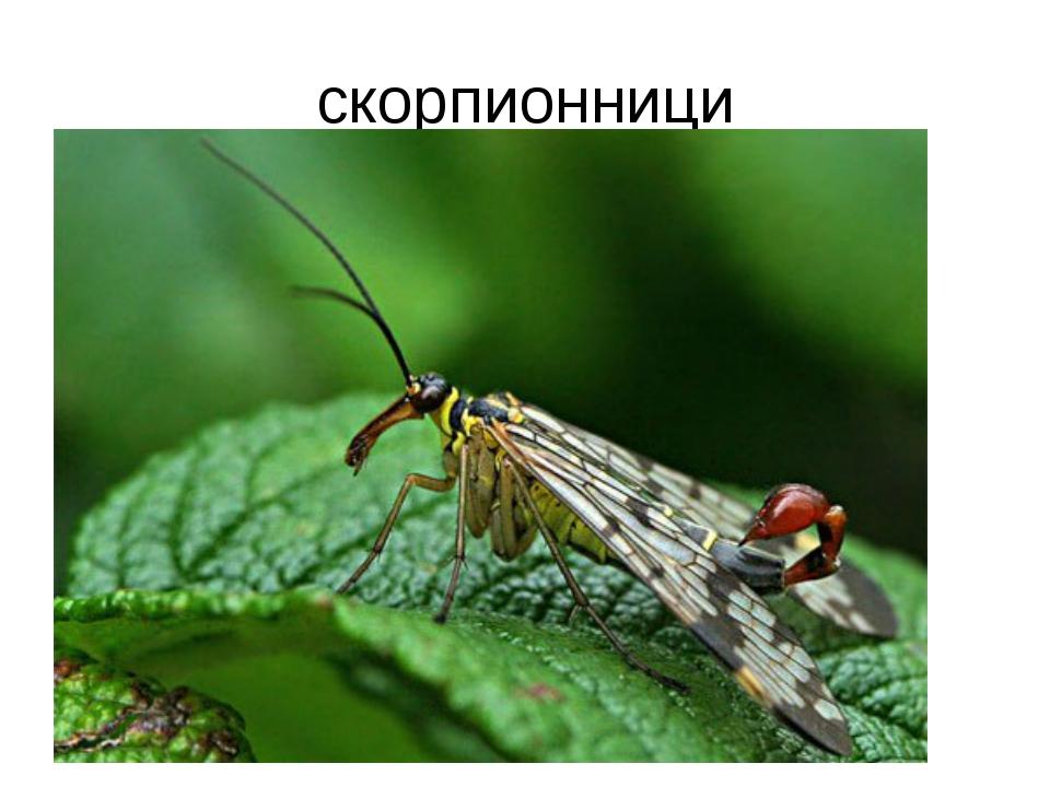 скорпионници