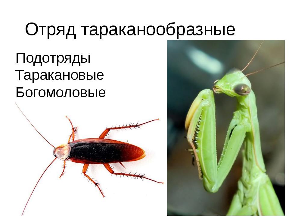 Отряд тараканообразные Подотряды Таракановые Богомоловые