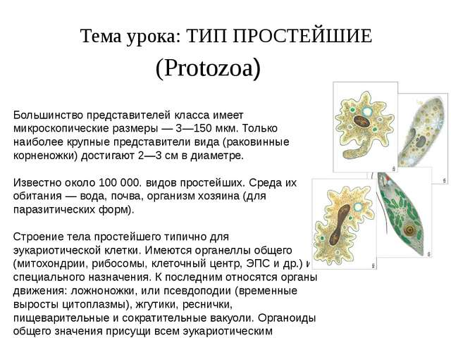 Тема урока: ТИП ПРОСТЕЙШИЕ (Protozoa) Большинство представителей класса имеет...