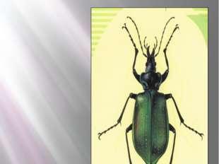 Жук жужелица красотел пахучий КРАСОТЕЛ ПАХУЧИЙ Calosoma sycophanta ( Linnaeus