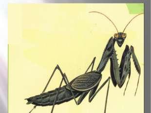 Богомол боливария короткокрылая БОЛИВАРИЯ КОРОТКОКРЫЛАЯ Bolivaria brachyptera