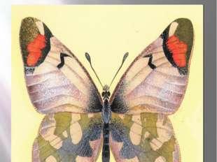 Бабочка зорька-зегрис Желтонизый Зегрис Zegris eupheme Esper, 1805 Класс Насе