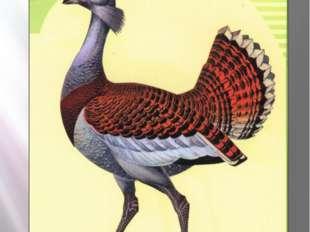 дрофа Дрофа Otis tarda Linnaeus, 1758 Класс птицы - AVES Отряд Журавлеобразны