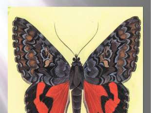 Бабочка малиновая орденская лента Орденская лента малиновая Catocala sponsa (
