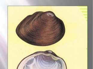 Толстая перловица Толстая перловица Crassiana crassa (Philipsson, 1788) Тип М
