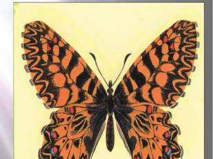 Бабочка поликсена Поликсена Zerynthia polyxena Denis & Schiffermüller, 1775 К
