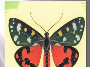 Бабочка медведица госпожа Медведица-Госпожа Callimorpha dominula Linnaeus, 17