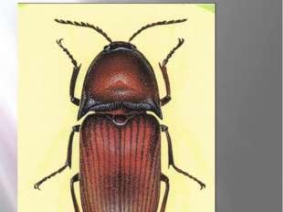 Жук щелкун ржаво-красный Щелкун ржаво-красный Elater ferrugineus Linnaeus, 17