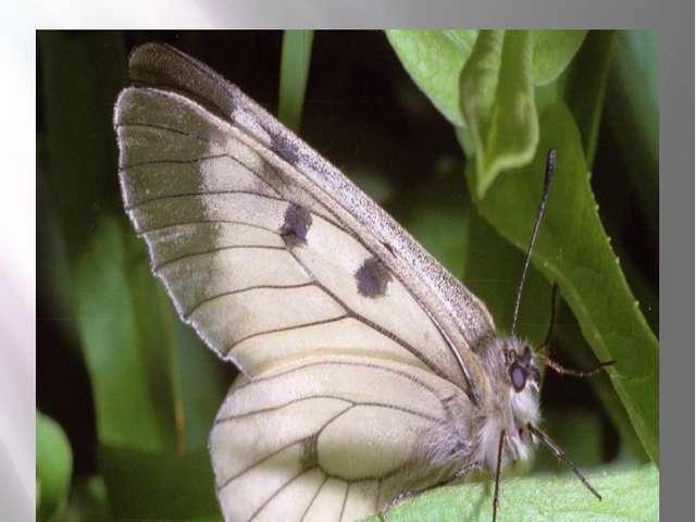 Бабочка мнемозина Мнемозина Parnassius mnemosyne Linnaeus, 1758 Класс Насеком...