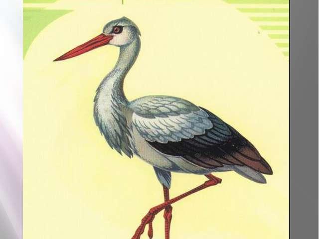 Белый аист БЕЛЫЙ АИСТ Ciconia ciconia Linnaeus, 1758 Класс птицы - AVES Класс...