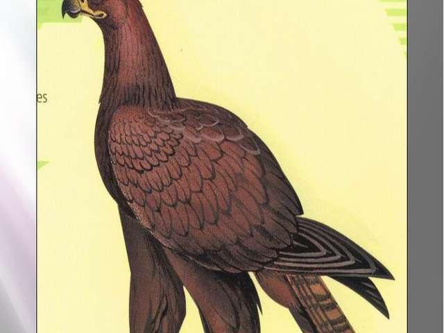 Степной орел Степной орел Aquila rapax (Temminch, 1828) Класс птицы - AVES От...