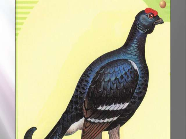 тетерев ТЕТЕРЕВ Lyrupus tetrix (Linnaeus, 1758) Класс птицы - AVES Отряд Куро...