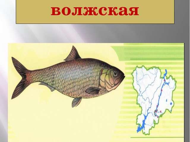 Сельдь волжская СТЕРЛЯДЬ Acipenser ruthenus Linnaeus, 1758 Класс Костные рыбы...