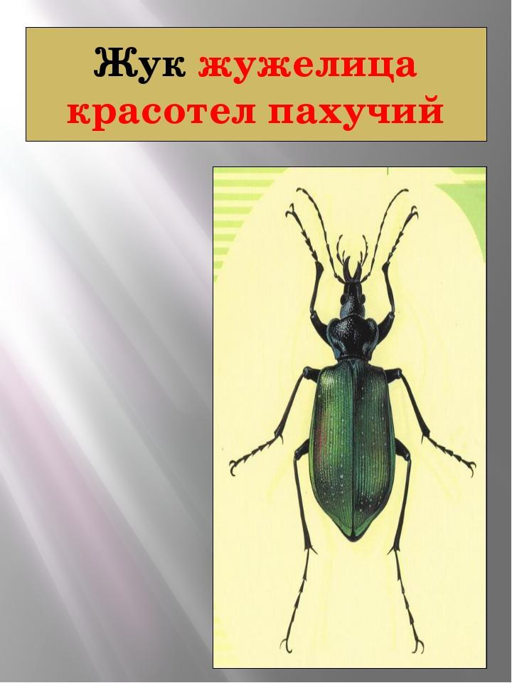 Жук жужелица красотел пахучий КРАСОТЕЛ ПАХУЧИЙ Calosoma sycophanta ( Linnaeus...
