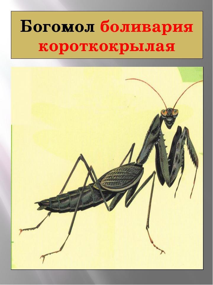 Богомол боливария короткокрылая БОЛИВАРИЯ КОРОТКОКРЫЛАЯ Bolivaria brachyptera...