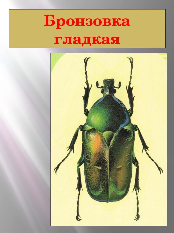 Бронзовка гладкая Бронзовка гладкая Netocia aeruginosa Drury, 1770 Класс Насе...