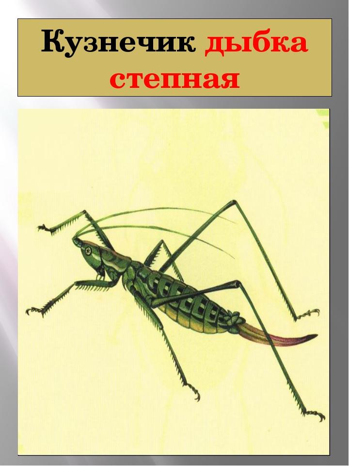Кузнечик дыбка степная Дыбка степная Saga pedo (Pallas, 1771) Класс Насекомые...