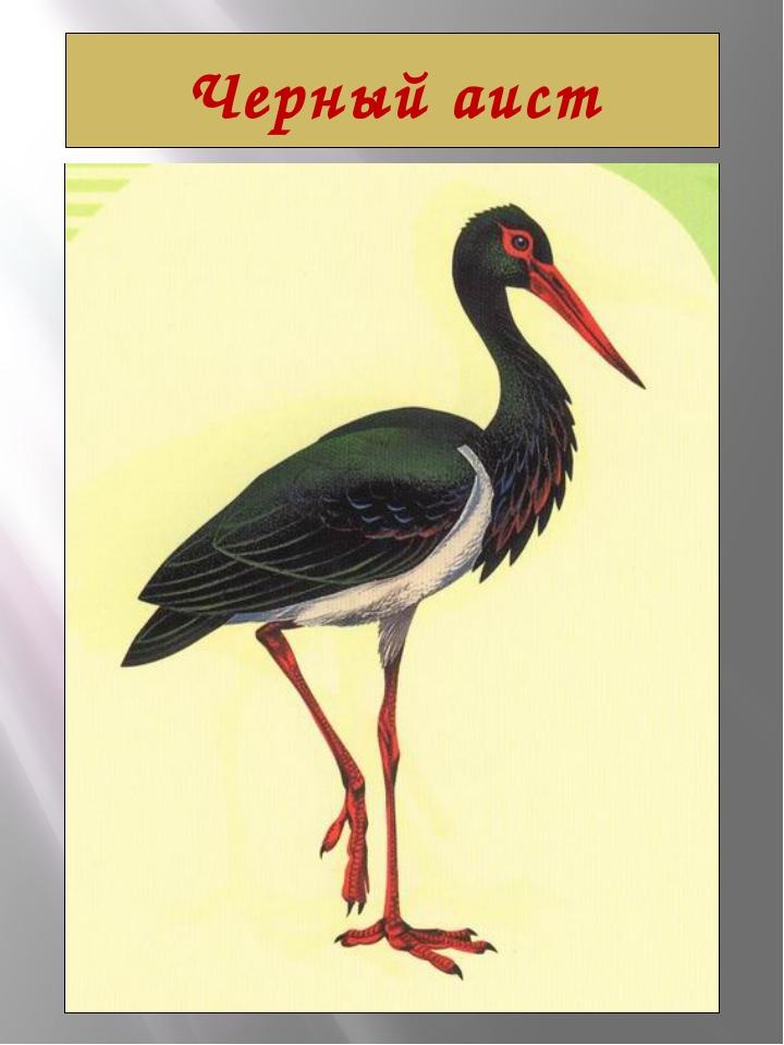 Черный аист Черный аист Ciconia nigra (Linnaeus, 1758) Класс птицы - AVES Отр...
