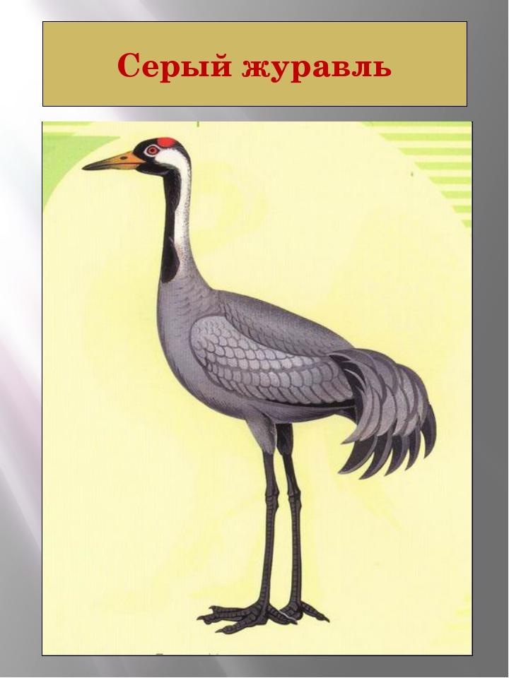 Серый журавль СЕРЫЙ ЖУРАВЛЬ Grus grus (Linnaeus, 1758) Класс птицы - AVES Отр...